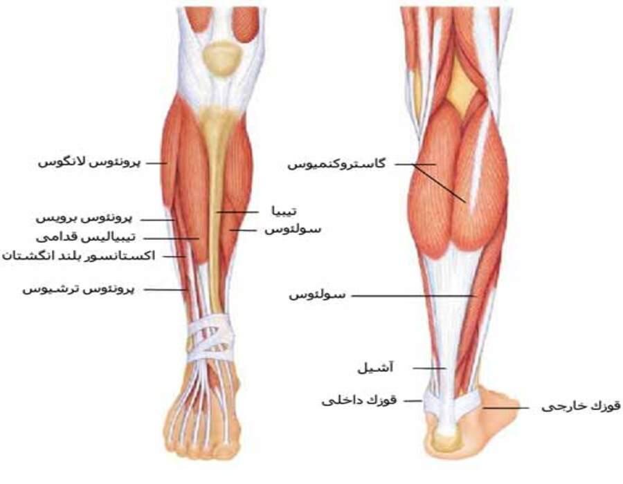 آناتومی عضلات ساق پا